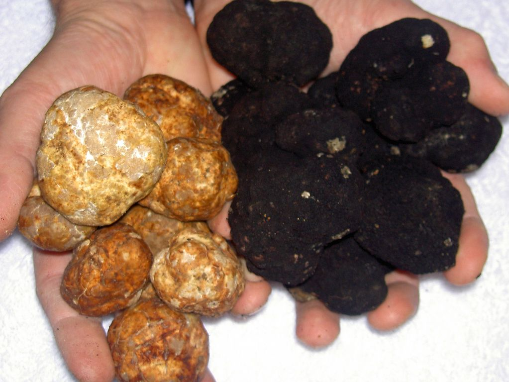 Black and White Truffles of Le Marche, Italy
